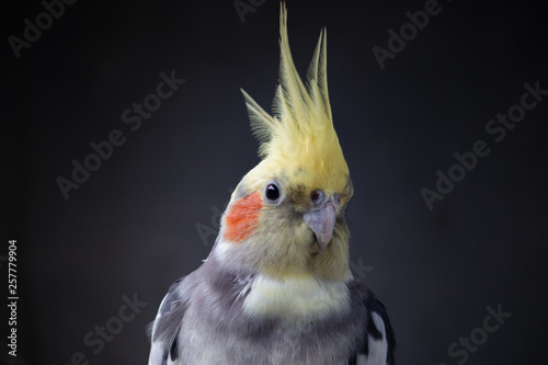 Valokuva  Cockatiel Nymphicus hollandicus normal male young parrot isolated on black plain