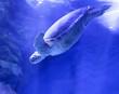 canvas print picture - 海水の中のウミガメ