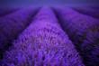 Leinwandbild Motiv lavender field france