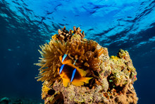 Clownfish In The Red Sea Colorful And Beautiful, Eilat Israel