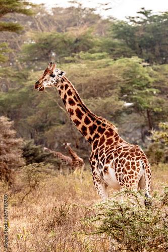 Rothschild Giraffe in Lake Nakuru Wall mural