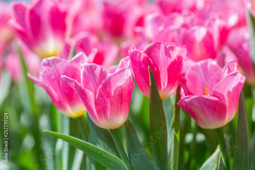 Montage in der Fensternische Rosa Lovey Tulip flower with green leaf background in tulip field at winter or spring day for postcard beauty decoration and agriculture concept design.