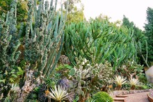 Group Of Green Cactus In The B...