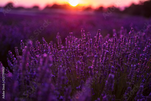 Poster Violet colorful sunset at lavender field