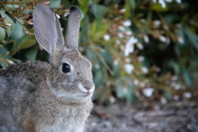 Face Of A Wild Desert Cottontail Rabbit Up Close In Front Of Foliage With Copy Or Text Space To The Right