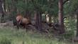 Elk eating grass in meadow