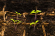 tomato seedlings in peat pots close-up