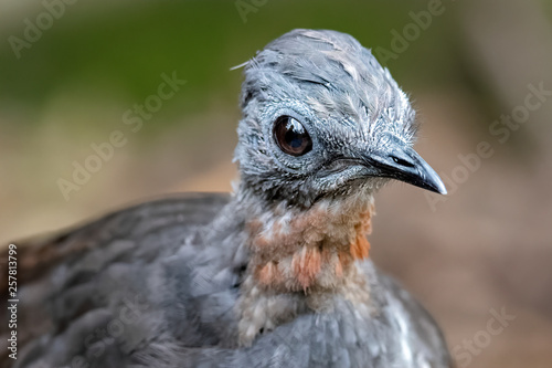 Fotografía  Superb Lyrebird (Menura novaehollandiae) close-up portrait