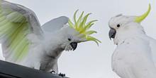 Sulphur-crested Cockatoos (Cac...