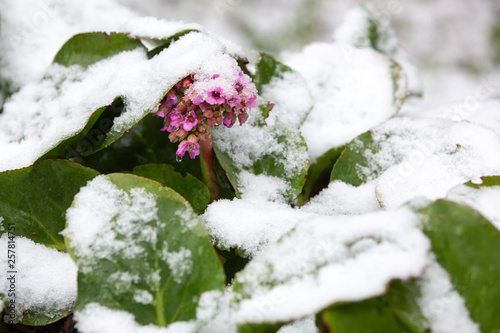 Photo Bergenia flowers under the snow. Natural disasters. Spring day.
