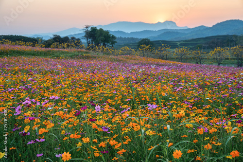 Poster de jardin Arbre Colorful cosmos flower blooming on hill