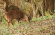 A pretty wild female Muntjac Deer (Muntiacus reevesi) feeding on an island in the middle of a lake.