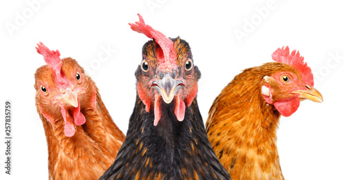 Poster de jardin Poules Portrait of three chickens isolated on white background
