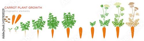 Obraz na plátně Carrot plant growth stages infographic elements
