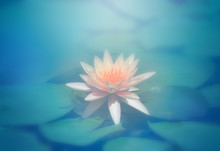 Lotus Flower In Pond, Close-up...