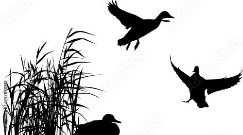 Fotografie, Obraz three ducks between reed silhouettes isolated on white