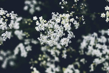 Cicuta White Flowers