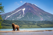 Kamchatka Bear Ruling The Land...