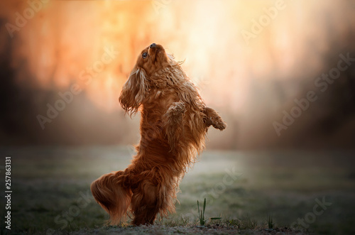 Billede på lærred cavalier king charles spaniel dog doing tricks beautiful dawn magical light port