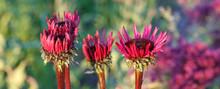 Echinacea Purpurea 'Fatal Attraction' Growing In A Flower Border