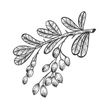 Barberry Branch Sketch Engraving Vector Illustration. Scratch Board Style Imitation. Hand Drawn Image.