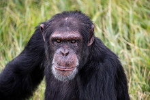 Portrait Of A Chimpanzee In Th...