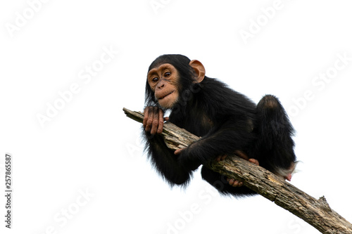 Valokuvatapetti chimpanzee on a branch, isolated with white background