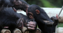 Chimpanzee With His Child , So...