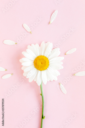 Tuinposter Madeliefjes Chamomile flower beautiful and delicate on pink background