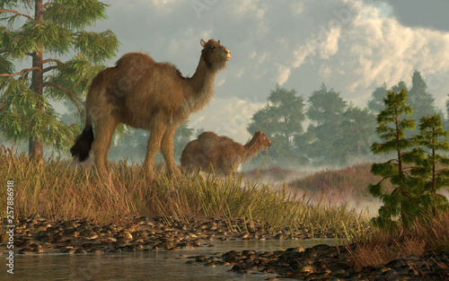 Fototapeta  A pair of shaggy camels stroll through grassy hills dotted with larch trees