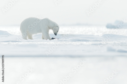Deurstickers Ijsbeer Polar bear with killed seal. Bear feeding on drift ice with snow, Svalbard, Norway. Bloody nature with big animals. Dangerous animal with carcass of seal. Arctic wildlife, animal feeding behaviour.