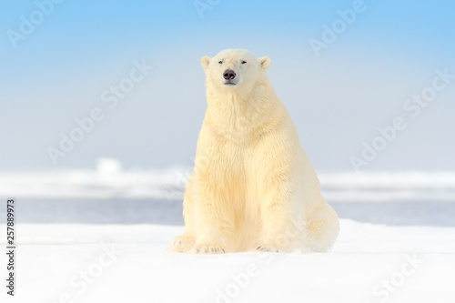Canvas Prints Polar bear Dangerous bear sitting on the ice, beautiful blue sky. Polar bear on drift ice edge with snow and water in Norway sea. White animal in the nature habitat, Europe. Wildlife scene from nature.