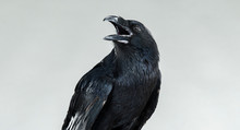 Portrait Of A Screaming Black Crow