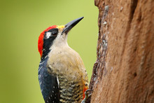 Woodpecker From Costa Rica, Black-cheeked Woodpecker, Melanerpes Pucherani, Sitting On The Tree Trunk With Nesting Hole, Bird In The Nature Habitat, Costa Rica. Birdwatching In South America.
