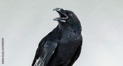 Photo portrait of a screaming black crow
