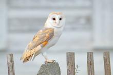 Barn Owl Sitting On Wooden Fen...