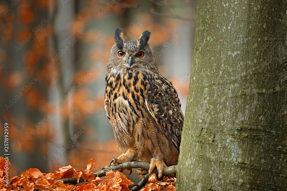 Fototapety, obrazy: Eurasian Eagle Owl, Bubo Bubo, sitting on the tree branch, wildlife photo in the forest with orange autumn colours, Slovakia. Bird in the forest.