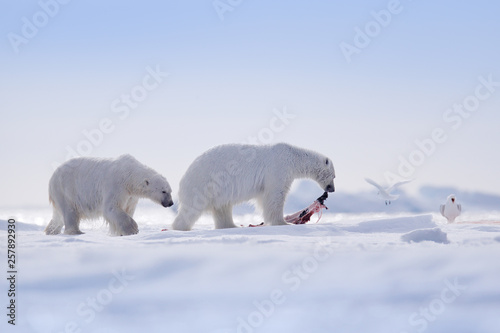 Deurstickers Ijsbeer Two polar bears with killed seal. White bear feeding on drift ice with snow, Svalbard, Norway. Bloody nature with big animals. Dangerous animal with carcass of seal. Arctic wildlife.
