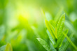 Leinwanddruck Bild - Green nature background. Closeup natural view of green leaves on blurred background for freshness