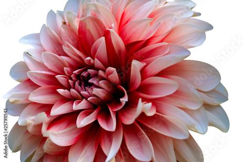 Foto op Plexiglas Dahlia flower on white background