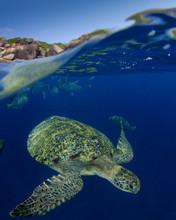 Green Sea Turtle Over Under Split Photo