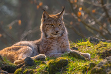 Cute Young Lynx In The Colorfu...