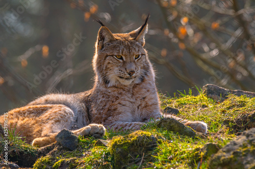 Spoed Foto op Canvas Lynx cute young lynx in the colorful wilderness forest