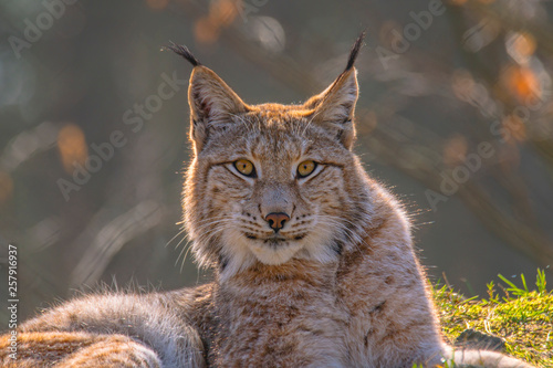 Fotografia cute young lynx in the colorful wilderness forest