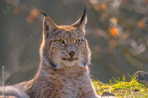 Foto auf Leinwand Luchs cute young lynx in the colorful wilderness forest