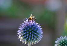 Honey Bee, Apis Mellifera, On Southern Globe Thistle, Echinops Ritro