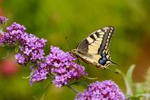 Swallowtail, Papilio Machaon, On Flower Of Butterfly Bush, Buddleja Davidii