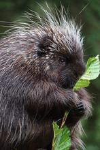 Porcupine Eating Close Up - Im...