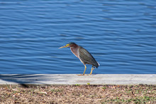 Green Heron Walking While Seeking Food And Fishing On Sea Wall Alone With Confidence Near Thousand Islands On The Banana River In Cocoa Beach, Florida
