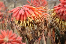 Aloe Claviflora Flowers Being Pollinated By Honey Bees, Central Karoo, South Africa.